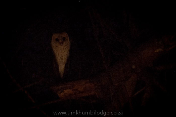 Young adult white face owl sighitn in south africa